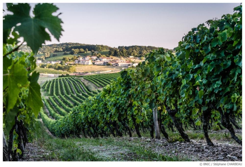 Le cognac, vignes