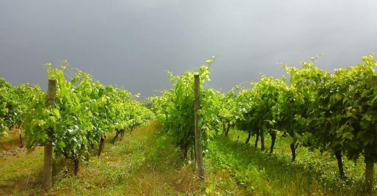 Vignoble du Pineau des Charentes